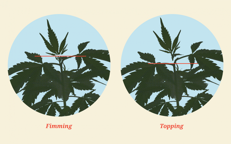 how-to-top-cannabis-plants@2x-1-960x600